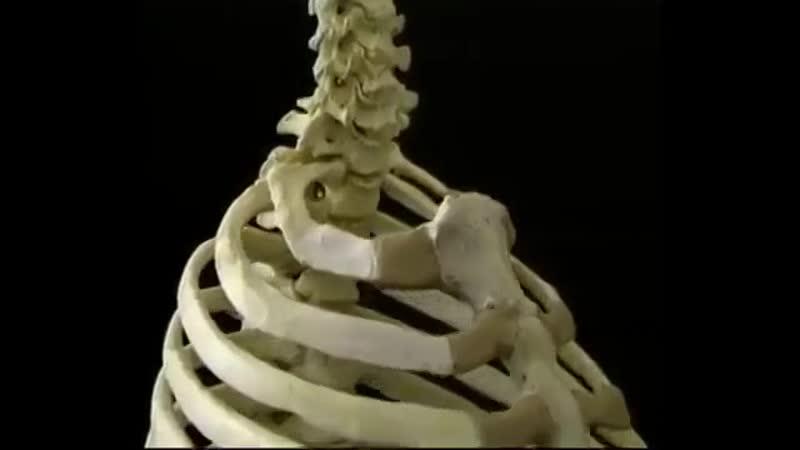 Фильм 3 целиком Анатомия туловища Атлас Акланда
