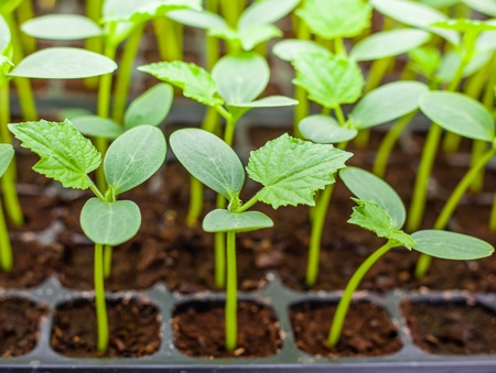 Оптимальная температура для рассады на разных этапах выращивания., изображение №4