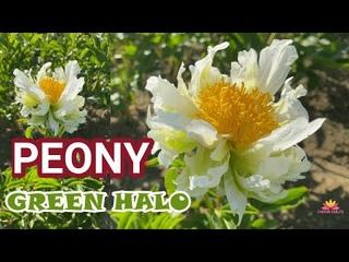 Бело-зеленый пион GREEN HALO / Сад Ворошиловой
