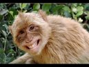 Tarik maang, monyet ini LUCU gaya valentino rossi