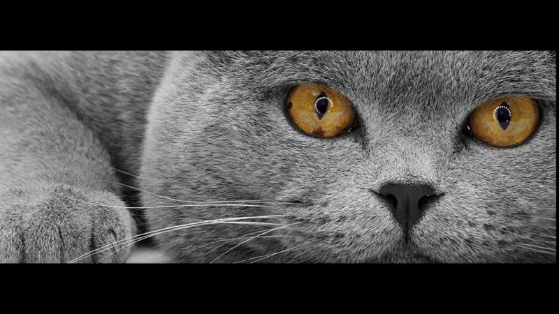 15 фактов о Британских короткошерстных кошках