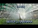 Сафари-парк львов ТАЙГАН . Танец БЕЛОГО ПАВЛИНА