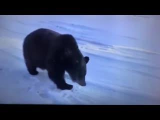 Только Американцам - не показывать! Медведь Яшка. Как собака прям!!!Но всё равно страшновато.