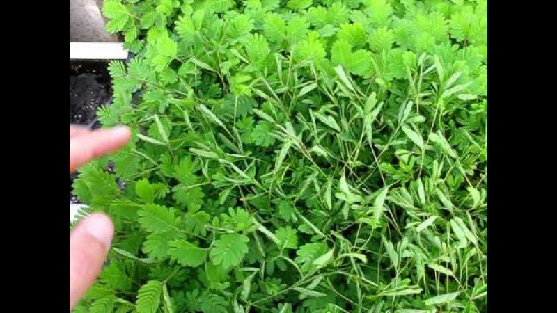 Mimosa pudica Sensitive Plant