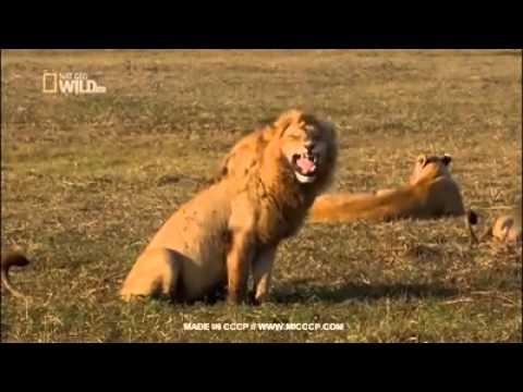 Lachender Löwe Lustig
