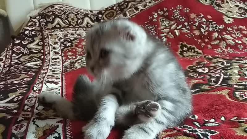 Шотландский котёнок Казань