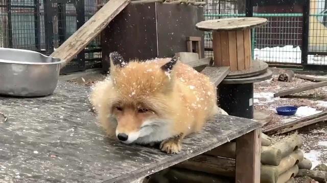 лиса и медленно падающий снег