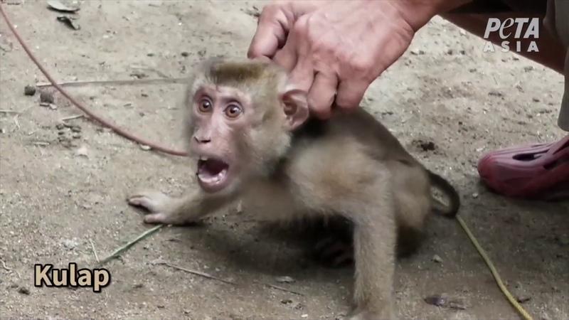 Des singes exploités et maltraités pour le lait et lhuile de coco