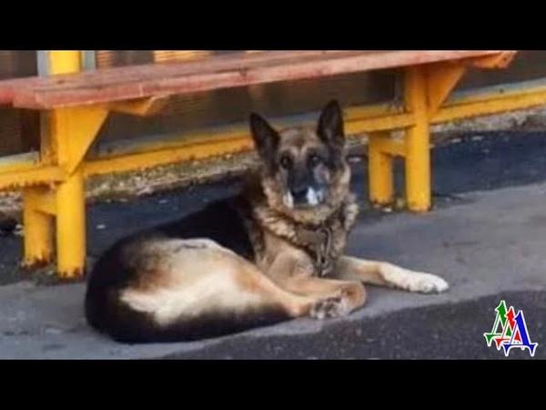 СОБАКУ просто выкинули на произвол судьбы но верный пёс всё сидел на остановке и ждал хозяина
