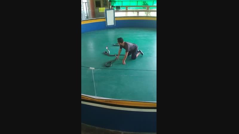 сиамские кобры