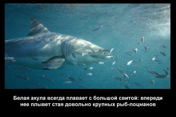 валтея - Интересные факты о акулах / Хищники морей.(Видео. Фото) 17LjY0e37b4