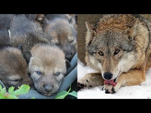 Лесник спас эту волчицу и ее волчат даже не подозревая что случится через несколько лет