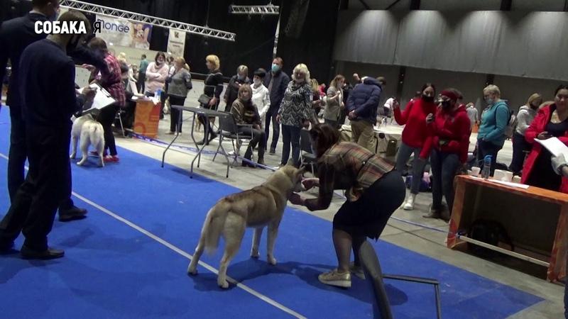 Хаски выставка собак Старая охота в Архангельске 29 11 Собака я