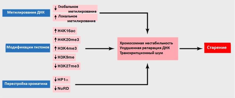Рисунок 6. Эпигенетические изменения, происходящие с возрастом. Источник: [7], рисунок адаптирован.