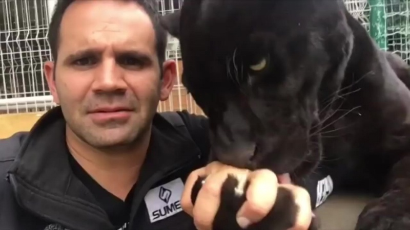 Спаситель больших кошек целуется с пантерой!