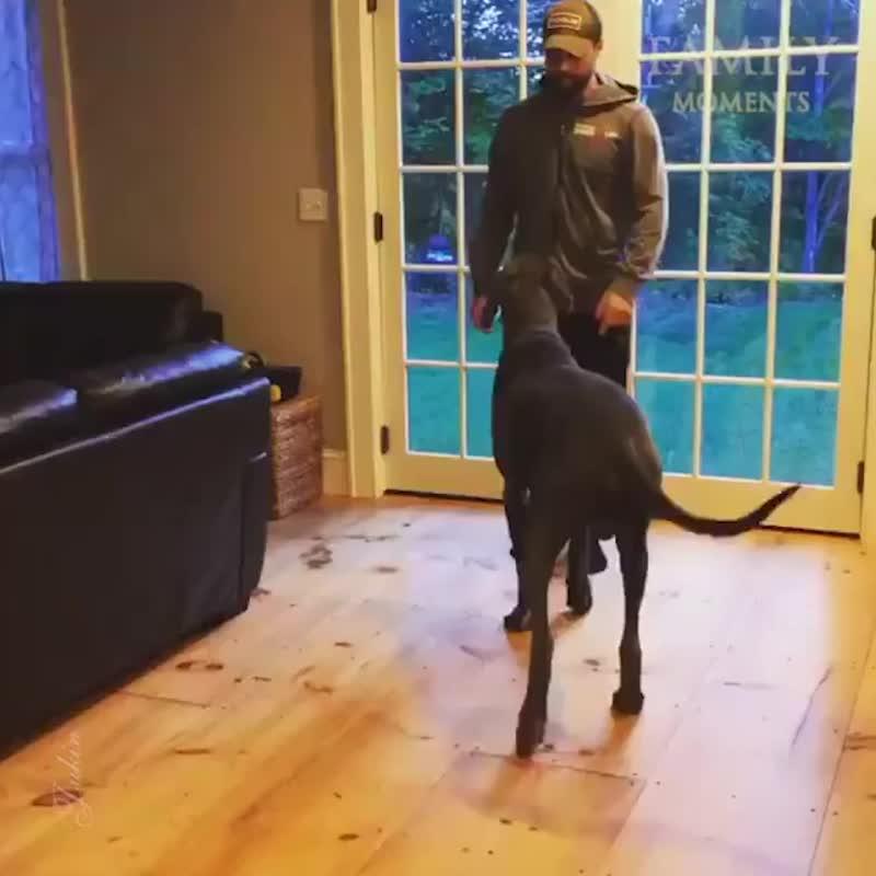 Немецкий дог тренируется с хозяином