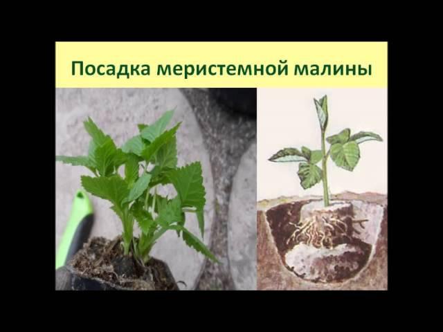 Как вырастить крупноплодную малину