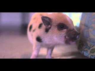 Piggy Tales 05 Talula Cute Funny Mini Juliana Pig Plays With Kittens Dogs Ebenezer Pot Belly Pig