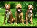 Питбуль и амстафф не собаки убийцы!