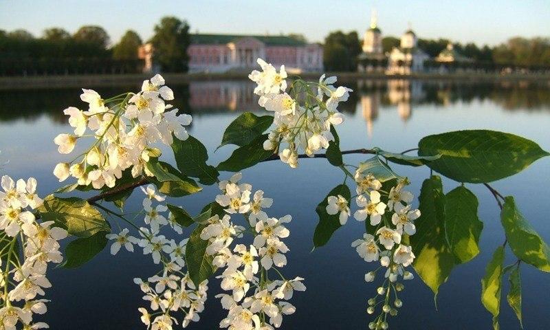 черемуха цветет в санкт петербурге фото мужское украшение перстень