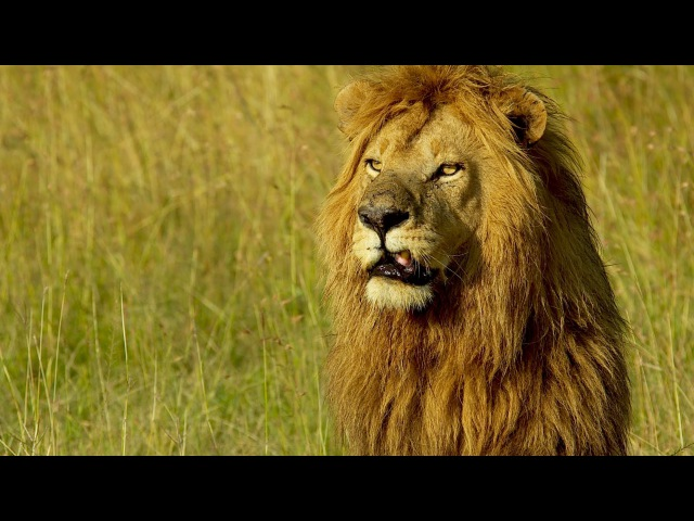 Lion Man Kevin Richardson South Africa