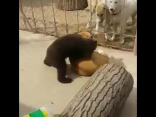 Медвежонок против собаки (борьба). bear vs dogs (wrestling)