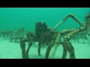 SCUBA Diving Melbourne - Spider Crabs at Rye Pier annual mid winter moult by NetBookings.au