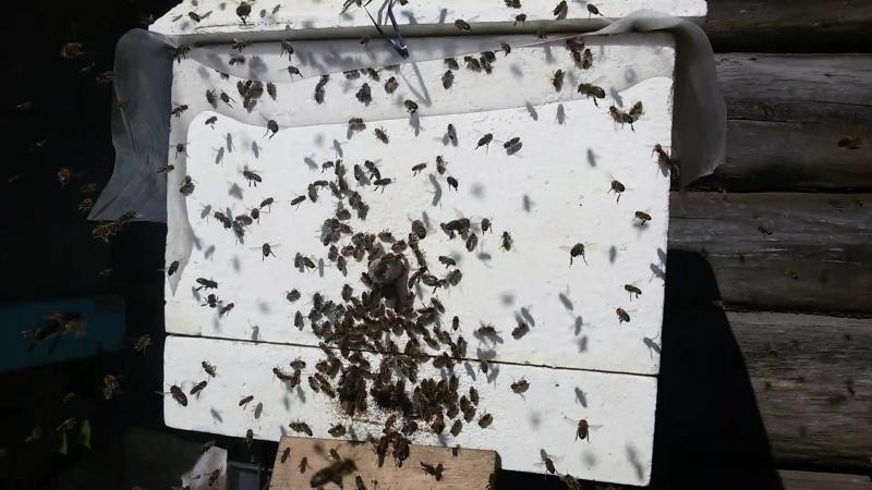 Облёт молодых пчёл Сборный отводок