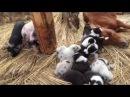 スエトシ牧場 そらまめ、ボーダーコリーの子犬、子猫、ミニブタ