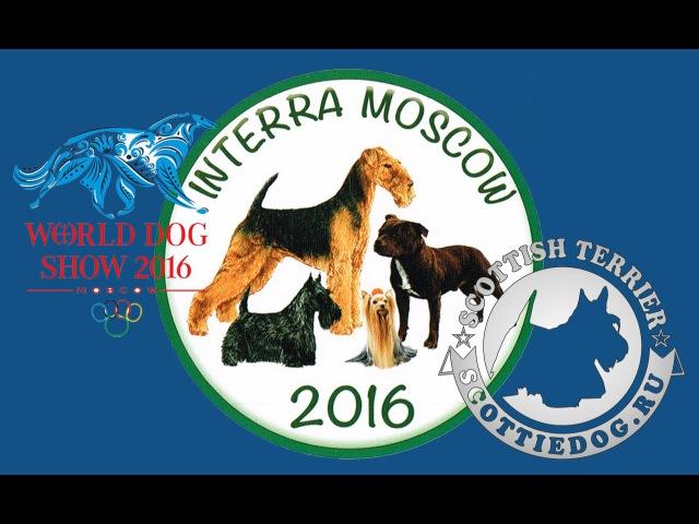 Выставка ИНТЕРРА 2016 Ринги Шотландский скотч терьер