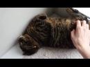 Смешные кошки. ПРИКОЛЫ про смешных котов и кошек 2016 До слёз август и сентябрь