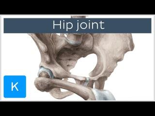 Hip joint - blood supply, innervation and bones - Human Anatomy |Kenhub
