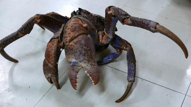 日本路邊小吃 - 巨大椰子螃蟹海鲜冲绳日本。