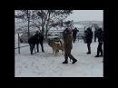 Сабачьи бои ст. Лысогорская 2017