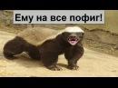 Версус Медоед самое агрессивное и бесстрашное животное в мире