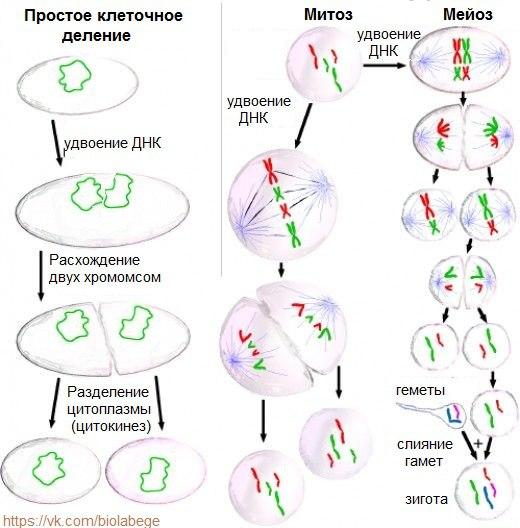 Биология егэ картинки митоз и мейоз