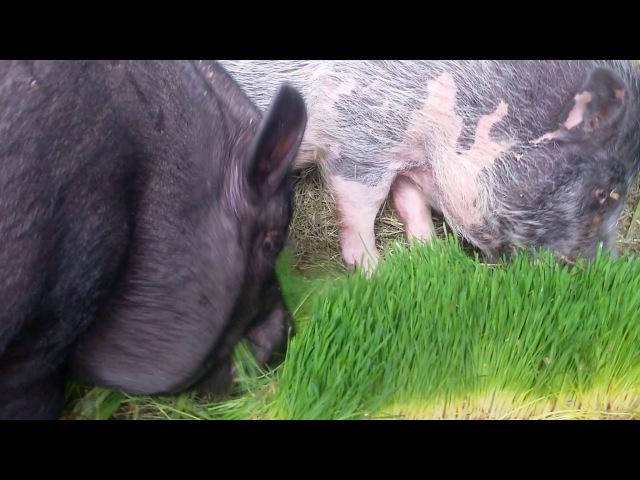 Поедание гидропонного корма свиноматкой и кабаном