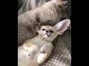 Cat vs fenek fox
