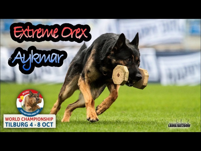 WUSV 2017 Marek Cerny Extreme Orex Aykmar Obedience B 93pts