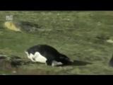 Один день из жизни пингвинов