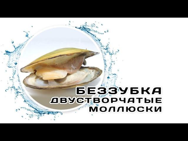 Аквачеллендж - Б | Беззубки - пресноводные двустворчатые моллюски в аквариуме