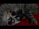 наша Муся с котятами, сегодня 5 дней как родились.