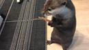 カワウソさくら 旨そうなジャーキー「旨いたち」を与えると二重人格になる I gave the otter a very delicious jerky