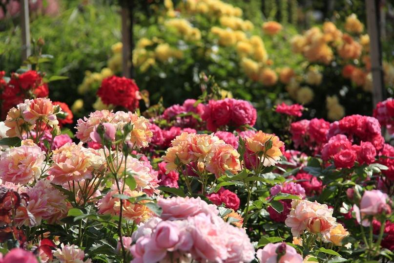 Розы полезны для Благодати, изображение №7