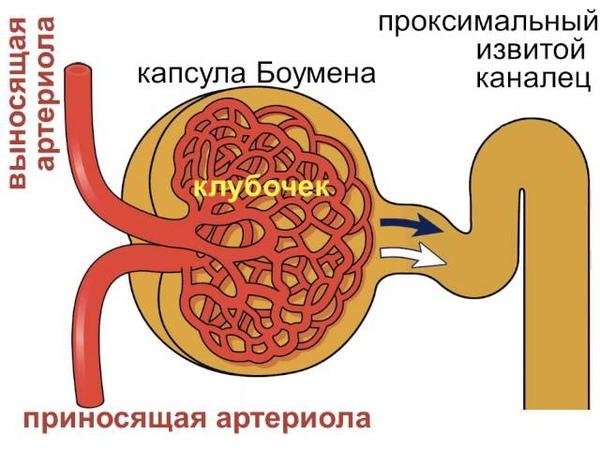Почечный клубочек и капсула Боумена почки 2
