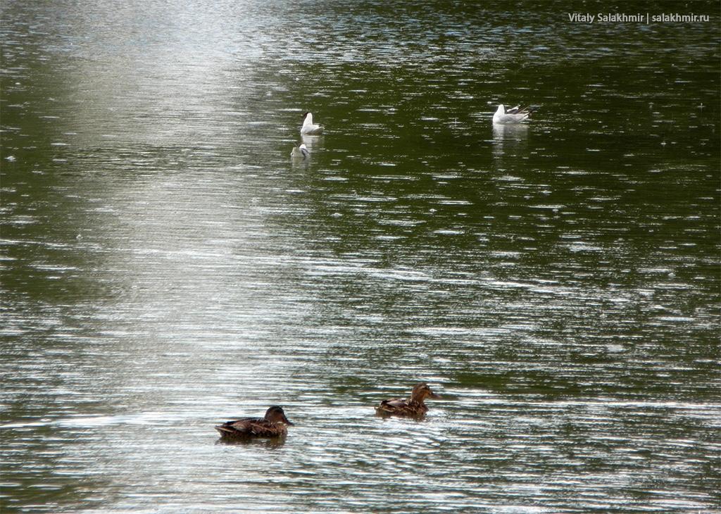 Утки и чайки Московский Парк Победы