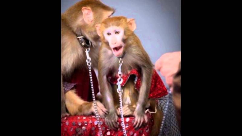 Шоу обезьян в Москве