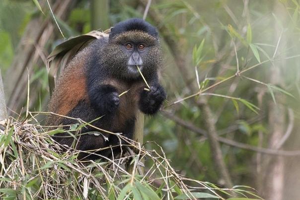 Золотистая мартышка (Cercopithecus andti эндемик, обитающий лишь в четырёх национальных парках Африки: Бирунга (Руанда), Вирунга (Конго), Бвинди и Мгахинга (Уганда).Фотограф Олег Домалега: