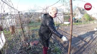 Блог Светланы Кацаповой 139 выпуск (обрезка винограда, укрытие на зиму)