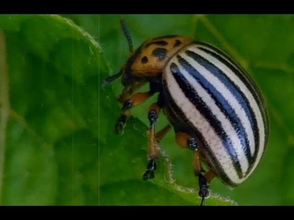 Кто подбросил нам колорадского жука